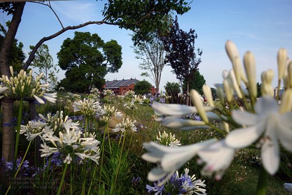 Yokohama, Japan, Agapanthus africanus, flower, (h) fuyuntyphoon