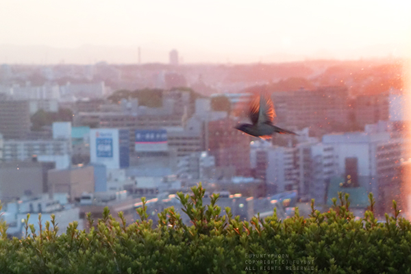 Yokohama, Japan, sunset, bird, (h) fuyuntyphoon